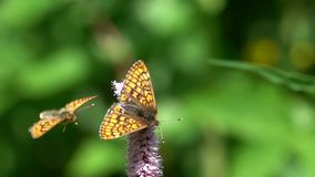 Två fjärilar den träskfritillaryEuphydryas som auriniaen är på de europeiska bistort Bistorta officinalisna, blommar, ultrarapid stock video