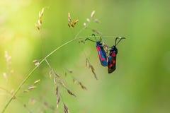 Två fjärilar med röda fläckar på deras vingar Arkivbilder