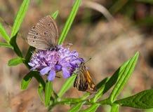 Två fjärilar på en blomma Fotografering för Bildbyråer