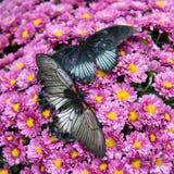 Två fjärilar på rosa chrysantemums Royaltyfri Fotografi
