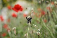 Två fjärilar parar ihop i en äng arkivbild