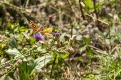 Två fjärilar som spelar på blommorna royaltyfri fotografi
