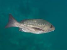 Två-fläck fiskar röda snapper i det undervattens- havet Royaltyfri Fotografi