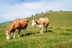 Två fläckiga kor som står i ängen Royaltyfri Bild