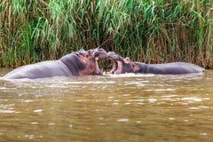 Två flodhästar som brottas playfully Royaltyfria Bilder