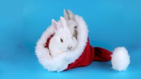 Två fluffiga kaniner som äter arugulasallad i den Santa Claus hatten lager videofilmer