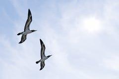 Två flyga blått-footed boobies Royaltyfri Fotografi