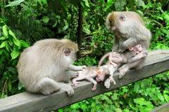 Två fostrar apor som att att bry sig som är deras, behandla som ett barn, Ubud, Bali, Indonesien Fotografering för Bildbyråer