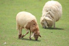Två främsta lamm på grönt gräs Arkivbilder
