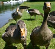 Två frågvisa unga goslings Arkivfoton