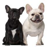 Två franska bulldoggar, 18 gammala månader Royaltyfria Foton