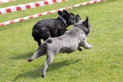 Två franska bulldoggar som kör på en gräsmatta Fotografering för Bildbyråer