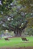 Två fridsamma bänkar vid ett stort träd arkivbild