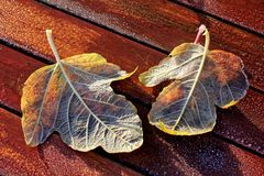 Två Frosty Leaves på den röda trätabellen royaltyfri foto