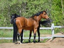 Två fullblods- hästar Arkivbild