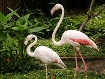 A två gånger av flamingo Royaltyfria Bilder