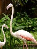 A två gånger av flamingo Arkivbild