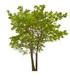 Två gör grön isolerade lönnträd Arkivfoton