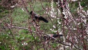 Två galanden sitter på en blomstra aprikos och äter den blommande blomman lager videofilmer