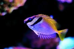 Två gallerförsedd Rabbitfish - Siganus virgatus arkivbild