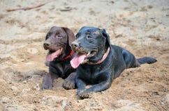 Två galna labradors Royaltyfri Foto
