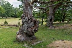 Två gamla ekar som står i en naturreserv royaltyfri foto