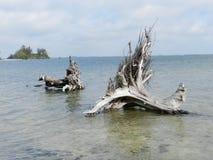 Två gamla trädstammar och rotar stupat over i floden Arkivfoton