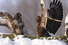 Två gemensamma fåglar för vråkButeobuteo med spridning påskyndar stridighet på insnöad vinter på solig dag Arkivbild