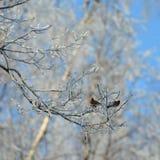 Två gemensamma redpolls som sitter och matar på ett frostigt träd arkivbild