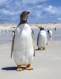 Två Gento pingvin en framme en i baksida i Falkland Isla Royaltyfria Bilder