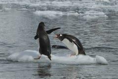 Två Gentoo pingvin Royaltyfria Bilder