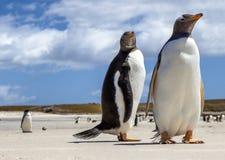 Två Gentoo pingvin på Falklands öar Arkivfoton