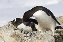Två Gentoo pingvin slåss nära Arkivfoton