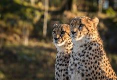 Två geparder, Acinonyxjubatus som ser till det vänstert Royaltyfri Fotografi
