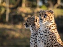 Två geparder, Acinonyxjubatus som ser till det vänstert Royaltyfria Foton