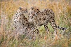 Två geparder i savannahen kenya tanzania _ Chiang Mai serengeti Maasai Mara arkivbilder