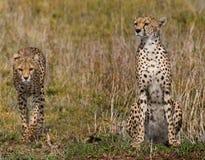 Två geparder i savannahen kenya tanzania _ Chiang Mai serengeti Maasai Mara royaltyfri foto