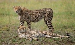 Två geparder i savannahen kenya tanzania _ Chiang Mai serengeti Maasai Mara fotografering för bildbyråer