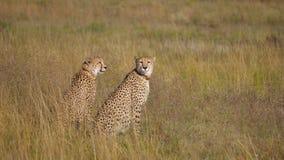 Två geparder som omkring ser Royaltyfria Bilder