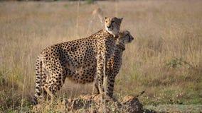 Två geparder står tillsammans och se omkring Arkivfoton