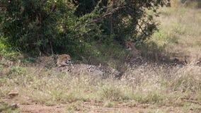 Två geparder under en buske Royaltyfri Foto