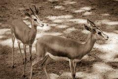 Två getter i aviariet i zoo Horisontalplats av lama två Royaltyfria Foton