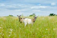Två getter som äter gräs på grön äng Arkivfoton
