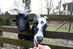 Två getter som matas från handen Arkivfoto