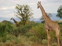 Två giraff Royaltyfri Foto