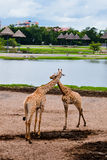 Två giraff i en semesterort Arkivfoton