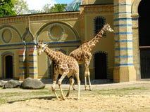 Två giraff i en zoo Arkivbilder