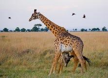 Två giraff i savann kenya tanzania 5 2009 för tanzania för östlig marsch för maasai för africa dans utförande krigare by Arkivbild