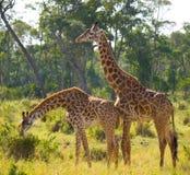 Två giraff i savann kenya tanzania 5 2009 för tanzania för östlig marsch för maasai för africa dans utförande krigare by Royaltyfri Foto