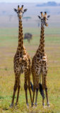 Två giraff i savann kenya tanzania 5 2009 för tanzania för östlig marsch för maasai för africa dans utförande krigare by Arkivbilder